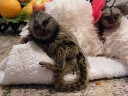 Bush Baby Animals For Sale   Kentucky Avenue, NJ #242170