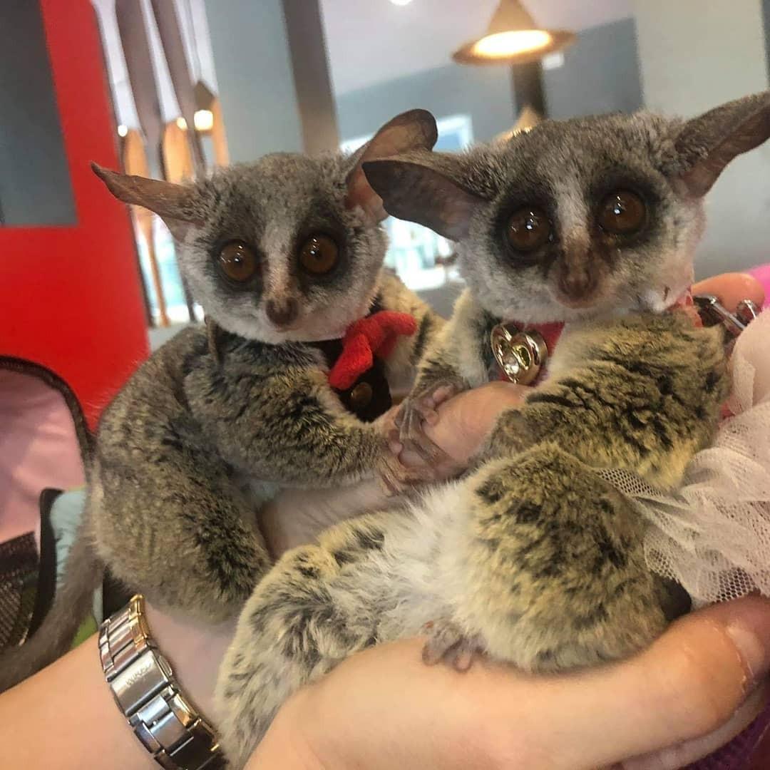 Bush Baby Animals For Sale   Del Rey Oaks, CA #330184