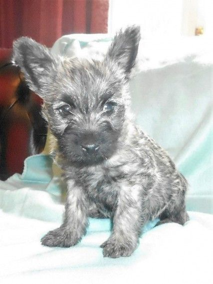 Cairn Terrier Puppies For Sale | Miami, FL #191057