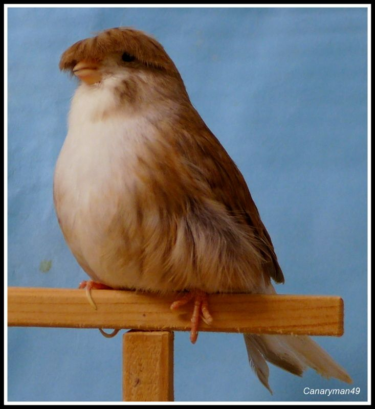 Canary Birds For Sale | Summerfield, FL #194856 | Petzlover