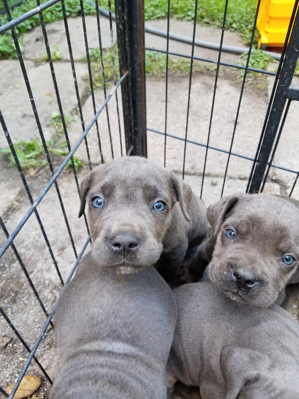 Cane Corso Puppies For Sale Detroit Mi 241093