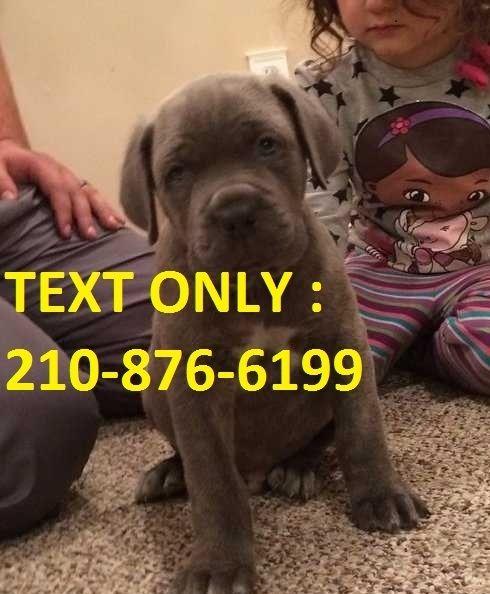 Cane Corso Puppies For Sale Jackson Mi 253819