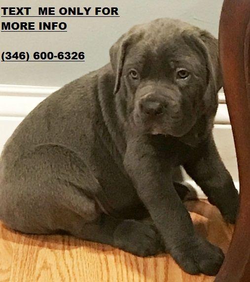 Cane Corso Puppies For Sale Detroit Mi 256145