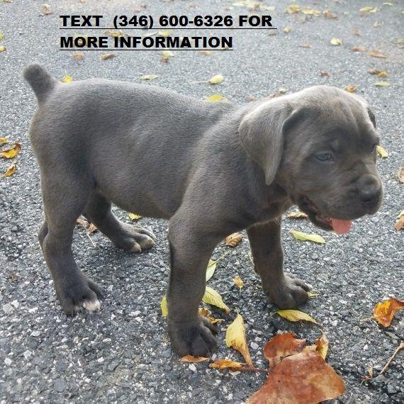 Cane Corso Puppies For Sale Detroit Mi 256147