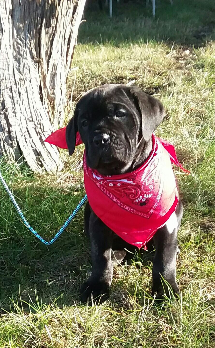 Cane Corso Puppies For Sale Dayton Oh 257834 Petzlover