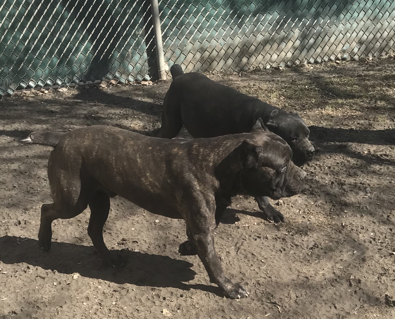 Cane Corso Puppies For Sale Belleville Mi 276124