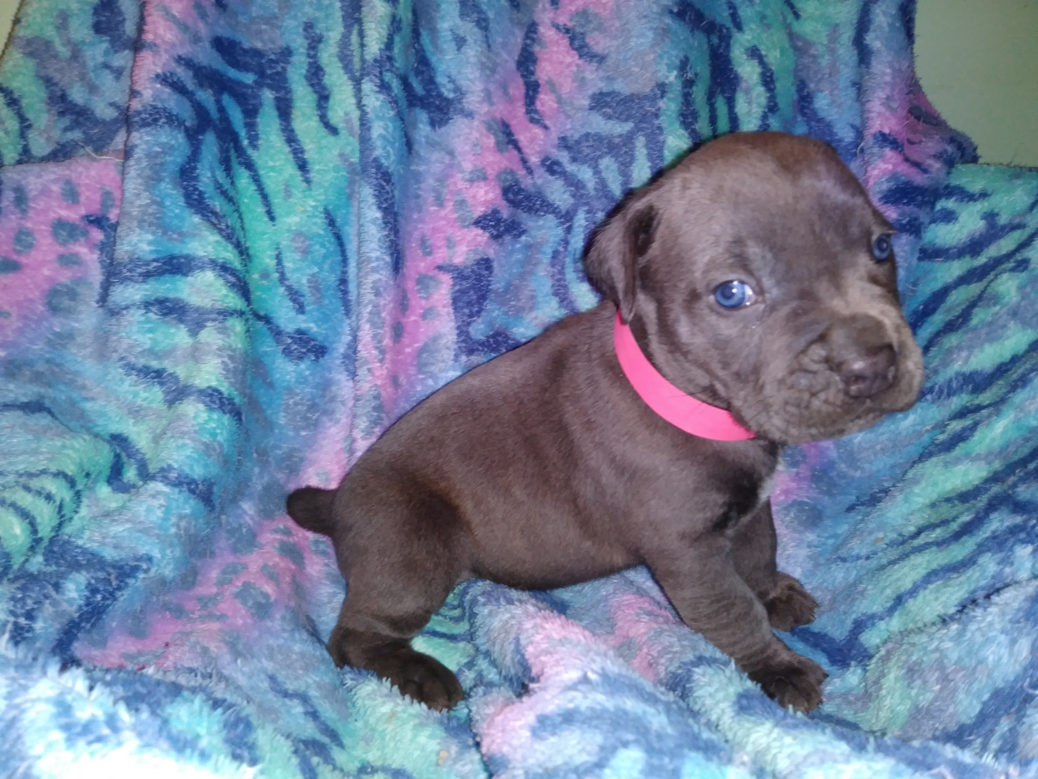 cane corso puppies for sale cheap