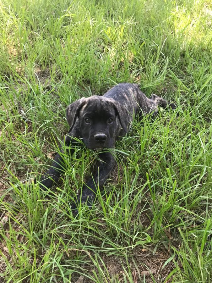 Puppies For Sale In Tupelo Ms >> Cane Corso Puppies For Sale | Tupelo, MS #300756 | Petzlover