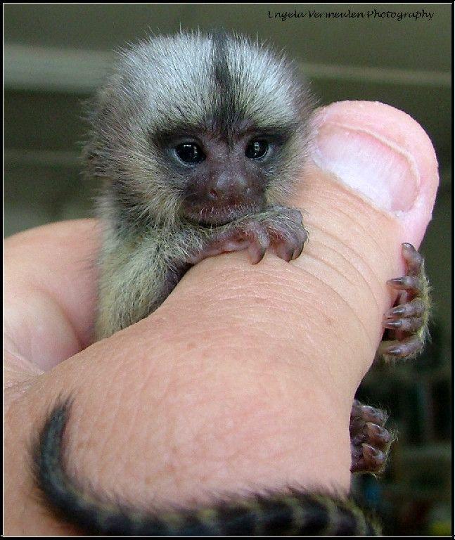 Capuchins Monkey