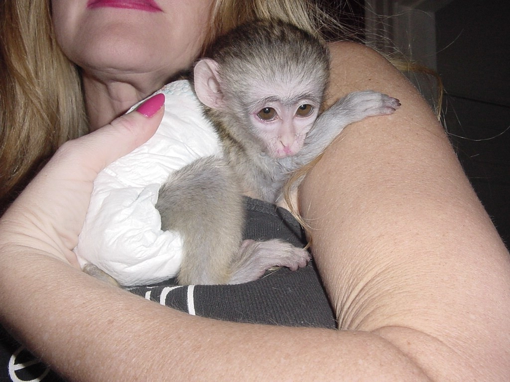 babies Capuchin Monkeys for adoption FOR SALE ADOPTION from New Jersey @ maitibursi.tk Classifieds - # babies Capuchin Monkeys for adoption FOR SALE ADOPTION from New Jersey for over + cities, + regions worldwide & in USA - free,classified ad,classified ads.