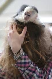 Capuchins Monkey For Sale in Tennessee (119)   Petzlover
