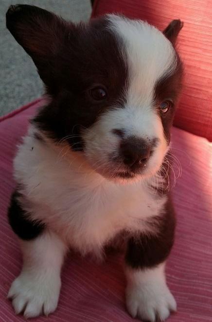 Cardigan Welsh Corgi Puppies For Sale Detroit Mi 146934