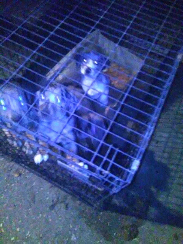 Catahoula Bulldog Puppies For Sale Montgomery Al 176078