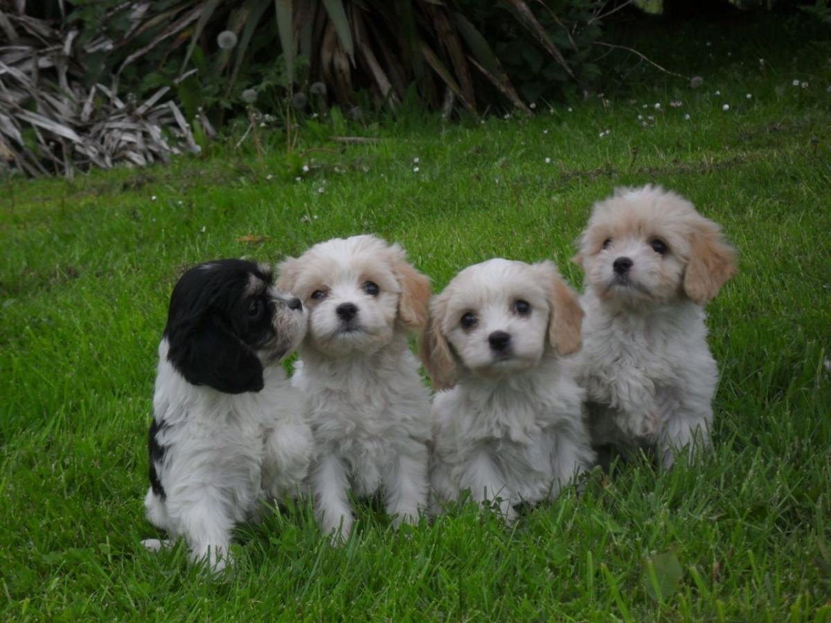 Buy Cavachon Puppies For Sale   Little Rock, AR #158406