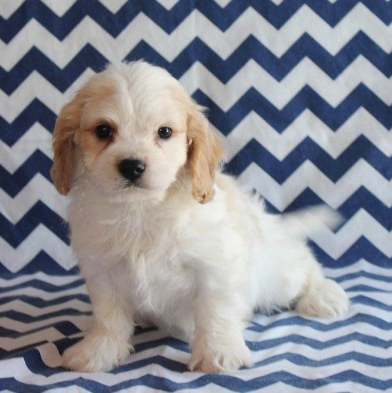 Buy Cavachon Puppies For Sale   Colorado USA #197304