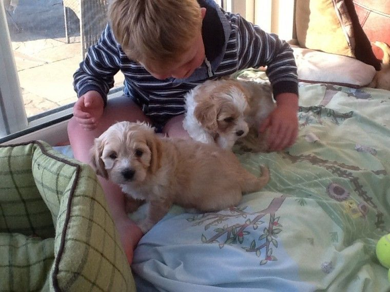 Buy Cavachon Puppies For Sale   Arizona USA #201260
