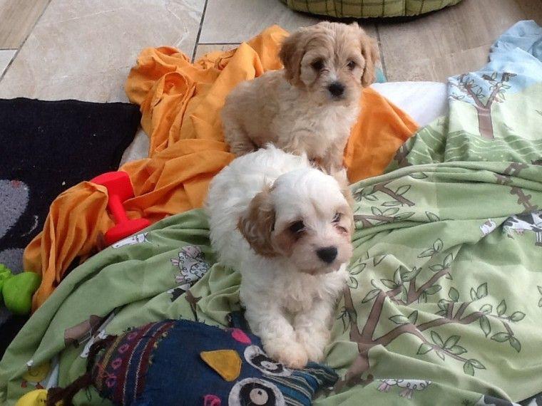 Buy Cavachon Puppies In Virginia USA