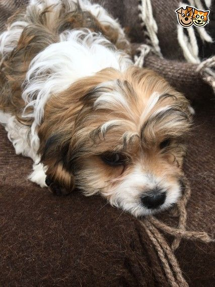 Cavachon Puppies For Sale | Des Moines, IA #214640