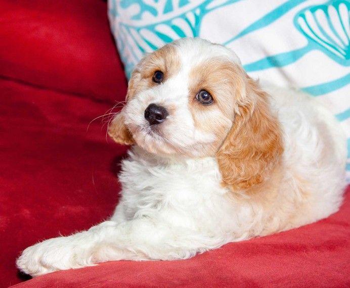 Buy Cavachon Puppies In Utah USA