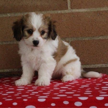 Cavachon Puppies For Sale | Macomb, MI #252393 | Petzlover