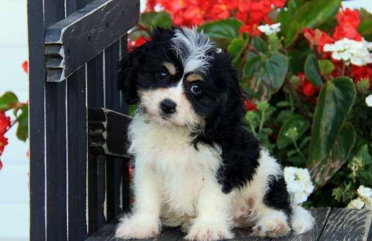 Buy Cavachon Puppies For Sale   Austin, TX #261442   Petzlover