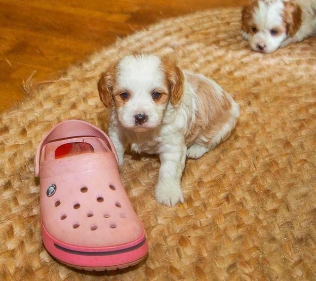 Cavachon Puppies For Sale | New Hampshire USA #290986