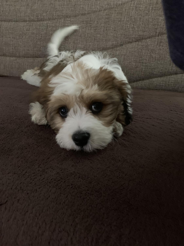 Buy Cavachon Puppies For Sale | Boise, ID #164300 | Petzlover