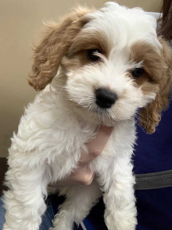 Cavachon Puppies For Sale | Terre Haute, IN #321996