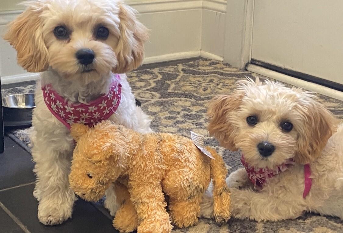 View Ad: Cavachon Puppies for Sale near New Mexico USA