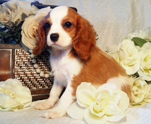 Cavalier King Charles Spaniel Puppies For Sale Pueblo Co 159408