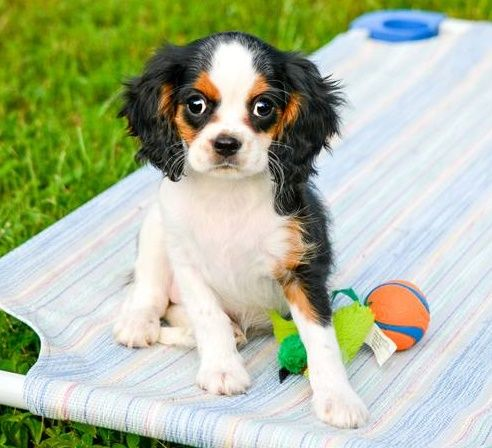 Cavalier King Charles Spaniel Puppies For Sale Columbus Ga 183559