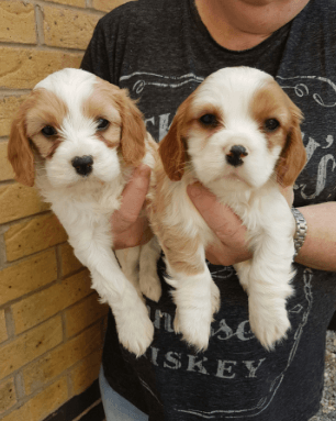 Cavalier King Charles Spaniel Puppies For Sale ...