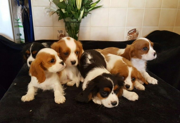 Cavalier King Charles Spaniel Puppies For Sale Wisconsin