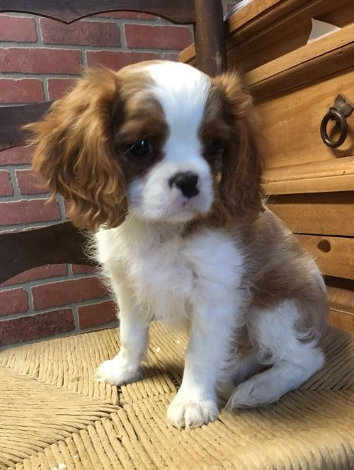 Cavalier King Charles Spaniel Puppies For Sale Eminence In 247580