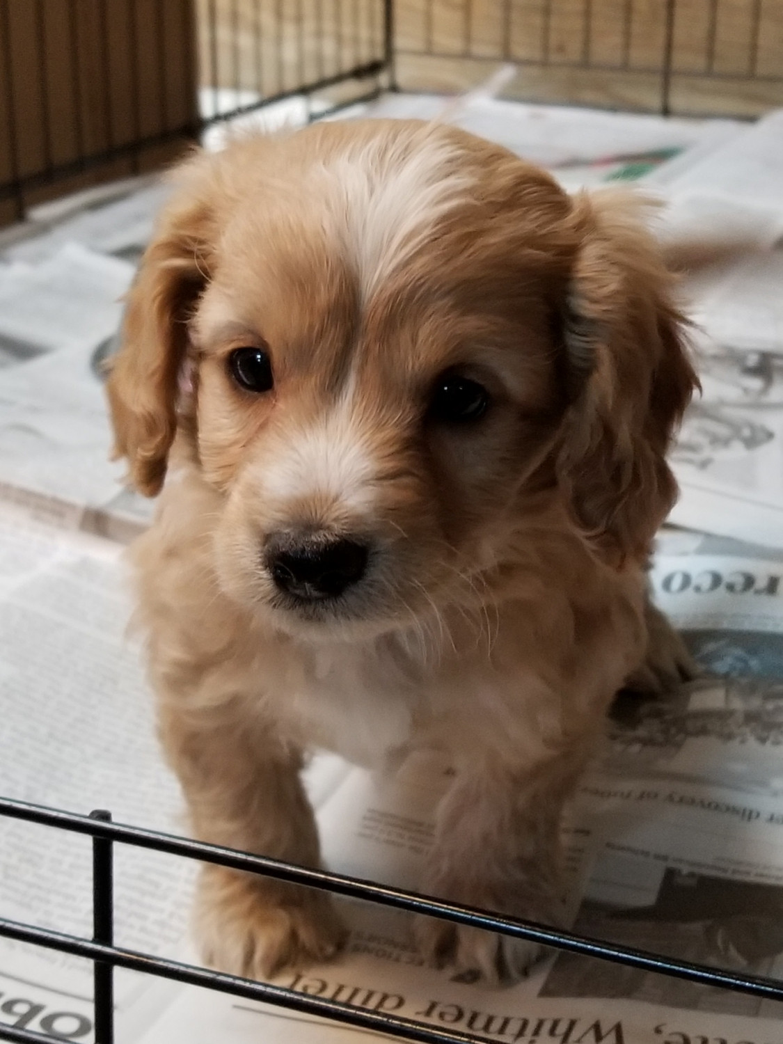 Cavalier King Charles Spaniel Puppies For Sale Brighton