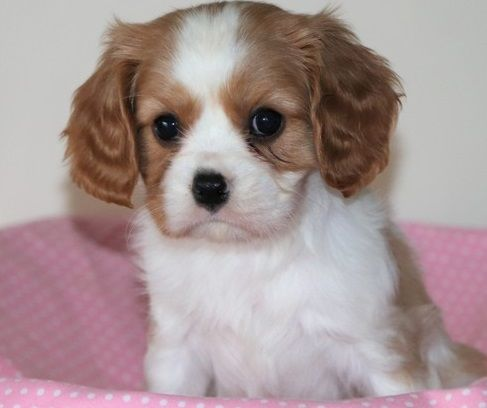 Cavalier King Charles Spaniel Puppies For Sale Mountain Brook Al