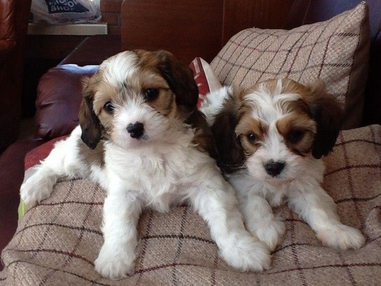 Cavapoo Puppies For Sale | Oklahoma | Petzlover