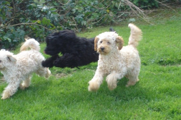 Page 2: Dogs for Sale in Olympia, WA | Dogs on Oodle ...