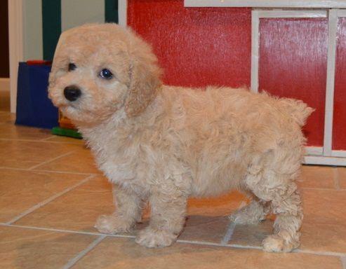 Cavapoo Puppies For Sale Cincinnati Oh 241583