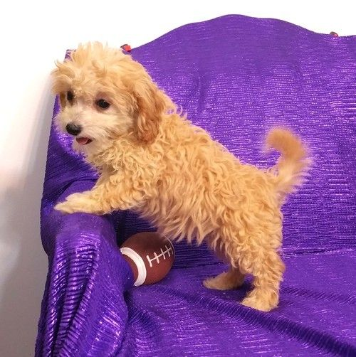 Cavapoo Puppies Nc t