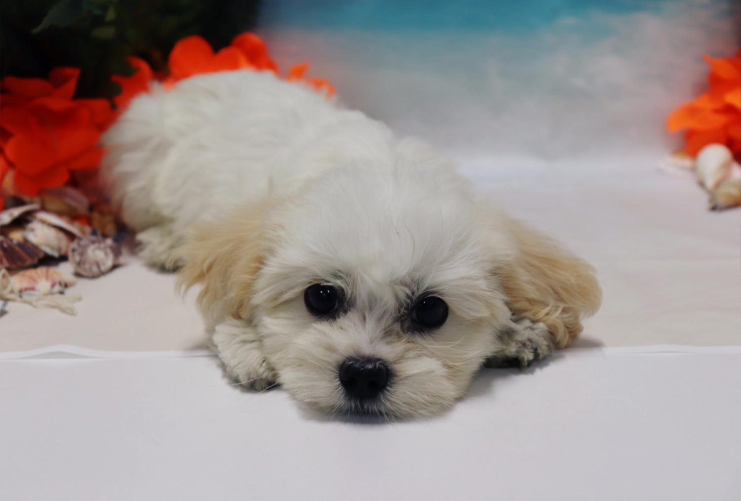 Cavapoo Puppies For Sale | New Jersey