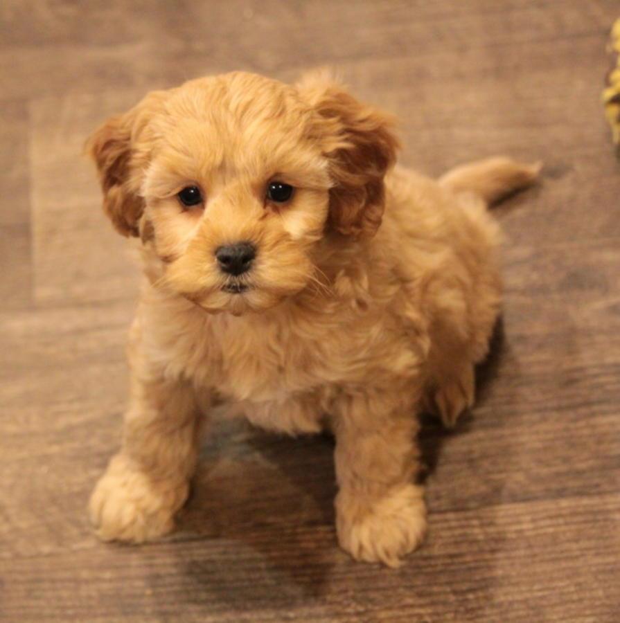 Cavapoo Puppies For Sale  Tulsa, Ok 292477  Petzlover-4214