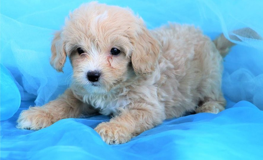 Cavapoo Puppies For Sale | Westminster, CO #293865