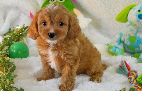 Cavapoo Puppies For Sale | Lansing, MI #294266 | Petzlover
