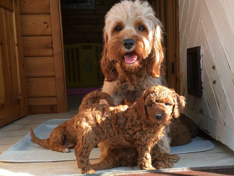 Cavapoo Puppies For Sale | North Carolina | Petzlover