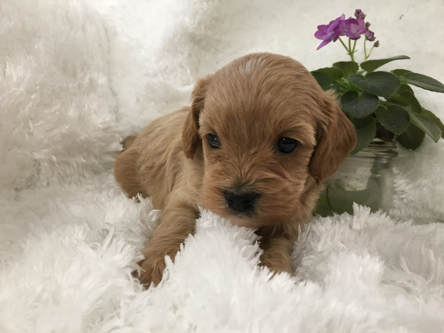 Cavapoo Puppies For Sale | Plain City, OH #301865