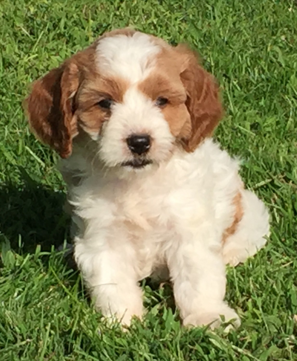 Cavapoo Puppies For Sale | New Holland, PA #309601