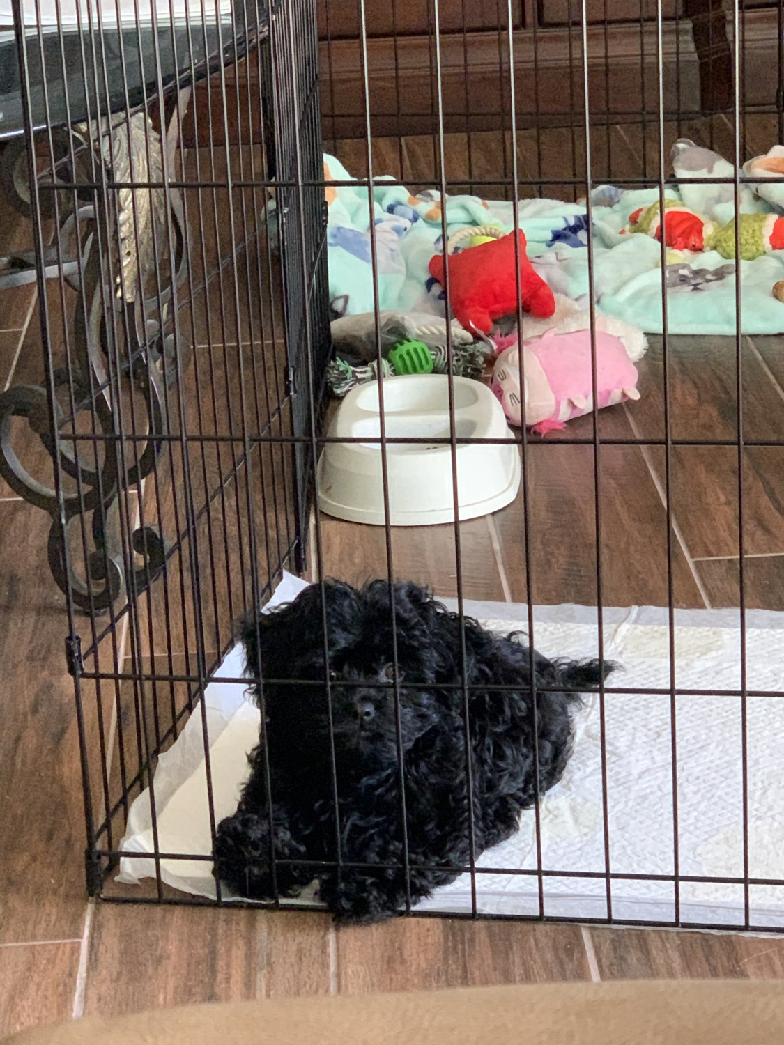 Cavapoo Puppies For Sale | Fountain Valley, CA #312007