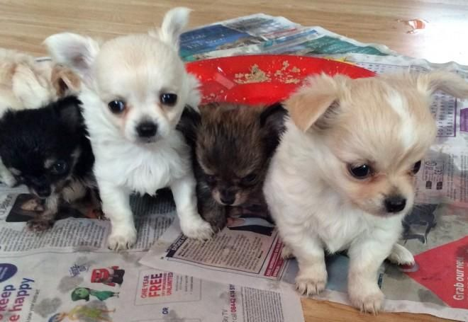Chihuahua Puppies For Sale Indianapolis In 144847