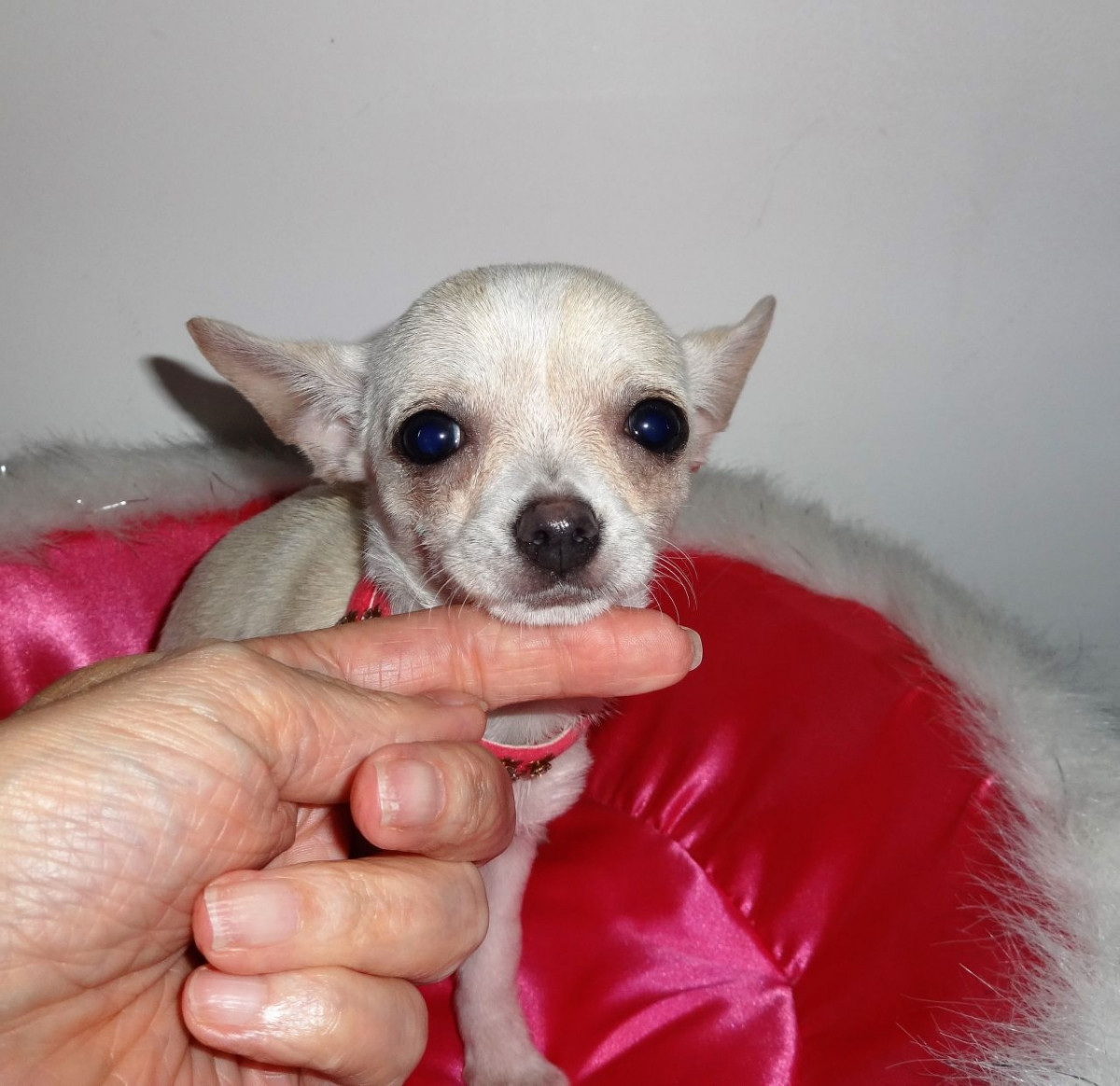 Chihuahua Puppies For Sale | Rochester, NY #160996